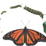 Color illustration of the life stages of a butterfly