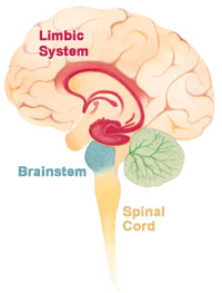 Illustration of cross-section of brain showing limbic system, brainstem, spiral cord etc.
